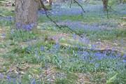 Bluebell time in Ashridge