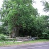 Ancient Oak tree at Tilford