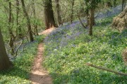 Bluebells in Lower Brienton woods