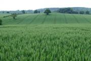 Wheat Field, near Willey, Shropshire