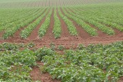 Ranks of potato plants.