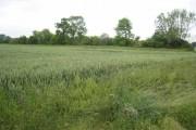 Field of wheat near Chetwode