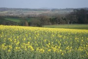 Rape field at Upper Egleton