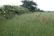 June cornfield