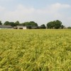 View across a barley field