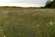 Farmland with wild flowers, Thruxton