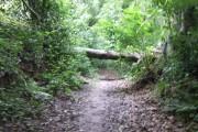 Fallen beech in Merryhill Wood