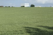 Ripening wheat by Thurleigh airfield