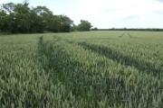 Wheat fields east of Bolnhurst