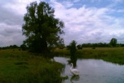 Willow and Swan on the River Hiz