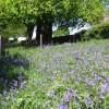 Bluebells at Brailsford Church
