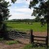 Cows grazing, Aston Ingham