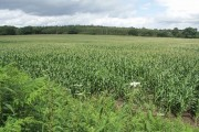 Field of Young Sweet Corn