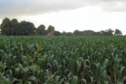 Field of sweet corn