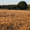 Barley crop, ready for harvesting