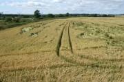 Weather damaged cereal crop