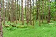 Trees in Balmacara Wood
