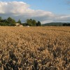 Late evening sun on wheat field