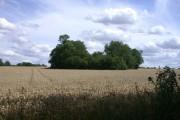 A Little Wood in a Wheat Field