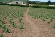 Footpath through a field of Brassicas