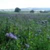 Blue crop near Capler Camp