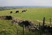 Grazing cattle overlooking Brynna