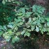 Diseased oak