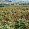 Bracken  on Gibbet Moor