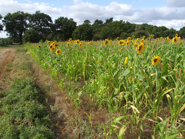 Field of sunflowers near Woodhall Spa