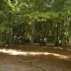 Beech woodland near Catslip