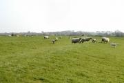 Ridge & Furrow Field with Sheep