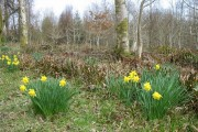 Daffodils in the wood near Stone Cottage