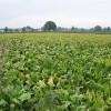 Mangold Crop near Pool Farm