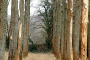 Old poplar plantation, Avon valley, Hanham