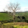 Dead tree near Pilsley