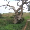 Dead tree near Barham