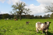 Cows and Calves: Wasing Estate Aldermaston