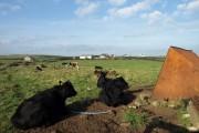 Black Cows, The Rhins