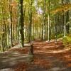 Linacre Beech Wood in Autumn