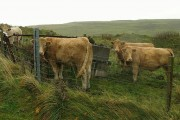 Cattle on Lismore