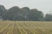 Cut maize near Swingate looking towards Windmill Plantation