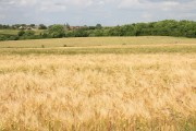 View across a barley field