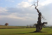 Fields and a dead tree, Bushley