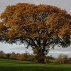 Oak tree at Great Witcombe