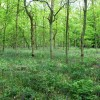 Classic English Woodland