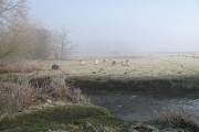 Sheep, Coxall