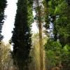 Tall cypress trees
