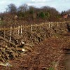 Rural craft :- Hedge laying at Wanlip
