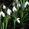 Close-up of the snowdrops at Wanlip Church