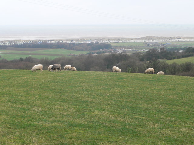 Grazing sheep near Gronant